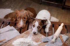 Dos perros están cocinando en la cocina Animal doméstico en casa foto de archivo