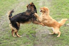 Dos perros están luchando Imagenes de archivo