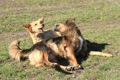 Dos perros están luchando Imagen de archivo