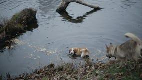 Dos perros están nadando en el lago almacen de metraje de vídeo