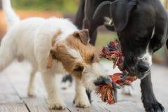 Dos perros están persiguiendo afuera Terrier de Jack Russell y amstaff negro foto de archivo libre de regalías