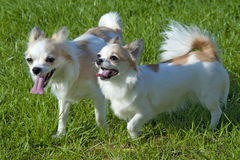 Dos perros felices de la chihuahua que recorren Fotos de archivo