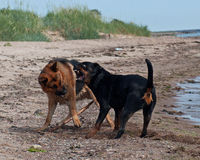 Dos perros fuertes que luchan en la playa Imágenes de archivo libres de regalías