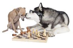 Dos perros (galgo italiano y husky siberiano) que juegan a ajedrez Foto de archivo libre de regalías