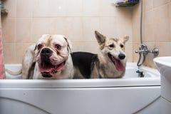 Dos perros grandes del tamaño en tina con las expresiones felices que esperan para ser lavado Fotos de archivo libres de regalías