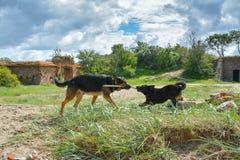 Dos perros jovenes que juegan con un palillo Imagen de archivo libre de regalías