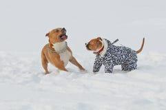 Dos perros, juegos del terrier de Staffordshire americano y funcionamientos en el sno foto de archivo