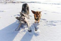 Dos perros juguetones en el día de invierno Foto de archivo libre de regalías