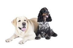 Dos perros (labrador retriever e inglés cocker spaniel) Foto de archivo libre de regalías