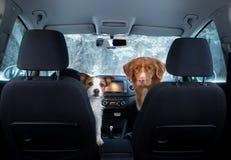 Dos perros lindos en el coche en la mirada del asiento Un viaje con un animal doméstico Nova Scotia Duck Tolling Retriever y Jack imagen de archivo