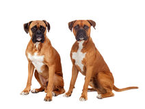Dos perros lo mismo sentada de la raza Imágenes de archivo libres de regalías