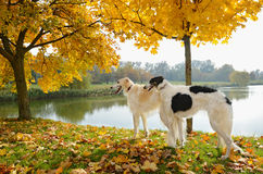 Dos perros lobo rusos Fotos de archivo libres de regalías