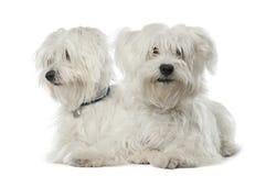 Dos perros malteses, 2 años, mintiendo Imágenes de archivo libres de regalías