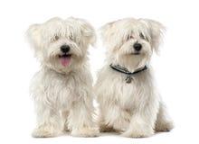 Dos perros malteses, 2 años, sentándose Fotografía de archivo libre de regalías