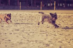 Dos perros mestizos que juegan junto en la playa Foto de archivo