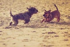 Dos perros mestizos que juegan junto en la playa Fotos de archivo