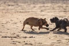 Dos perros mestizos que juegan junto en la playa Imagenes de archivo