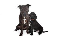 Dos perros mezclados de la casta Foto de archivo