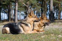 Dos perros pastor que ponen en la hierba imagen de archivo