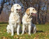 Dos perros perdigueros de oro Imagen de archivo