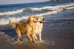 Dos perros perdigueros de oro Imágenes de archivo libres de regalías