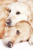 Dos perros perdigueros de oro Foto de archivo libre de regalías
