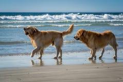 Dos perros perdigueros de oro que juegan en la playa fotografía de archivo libre de regalías