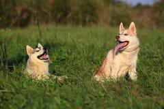 Dos perros Perro esquimal y Malamute Imagen de archivo libre de regalías