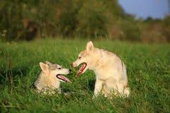 Dos perros Perro esquimal y Malamute Mirada de uno a Fotografía de archivo libre de regalías
