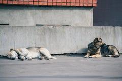 Dos perros que colocan junto contra una pared gris concreta Imágenes de archivo libres de regalías