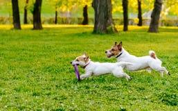 Dos perros que corren en el césped del parque que juega con el tirador juegan Imágenes de archivo libres de regalías