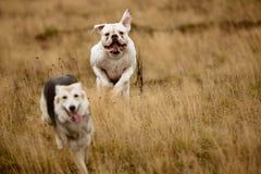 Dos perros que corren en el campo imagen de archivo libre de regalías