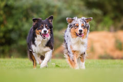 Dos perros que corren en el prado Foto de archivo