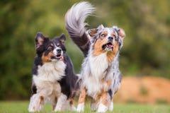 Dos perros que corren en el prado Imágenes de archivo libres de regalías
