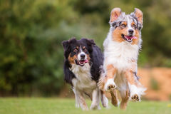 Dos perros que corren en el prado Fotos de archivo