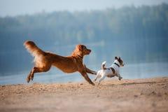 Dos perros que corren en la orilla arenosa del lago Foto de archivo