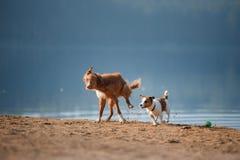 Dos perros que corren en la orilla arenosa del lago Imagen de archivo libre de regalías