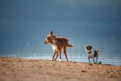 Dos perros que corren en la orilla arenosa del lago Imagen de archivo