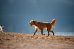 Dos perros que corren en la orilla arenosa del lago Fotos de archivo libres de regalías