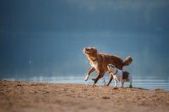 Dos perros que corren en la orilla arenosa del lago Imágenes de archivo libres de regalías