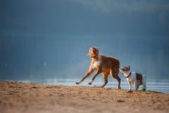 Dos perros que corren en la orilla arenosa del lago Fotos de archivo