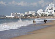 Dos perros que corren en la playa Imagen de archivo