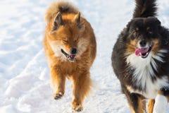 Dos perros que corren en nieve Foto de archivo libre de regalías