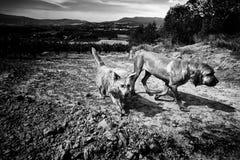 Dos perros que corren y que gozan en naturaleza Imágenes de archivo libres de regalías