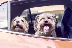 Dos perros que esperan una impulsión al parque foto de archivo