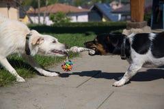 Dos perros que juegan con el mismo juguete Imagen de archivo