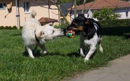 Dos perros que juegan con el mismo juguete Imagen de archivo libre de regalías