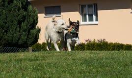 Dos perros que juegan con el mismo juguete Foto de archivo libre de regalías