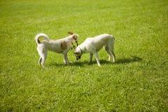 Dos perros que juegan con un palillo Fotografía de archivo libre de regalías