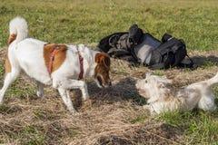 Dos perros que juegan con uno a fotos de archivo